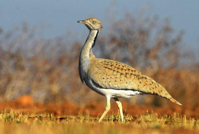برخی شکارچیان سودجو از کشورهای عربی حاشیه خلیج فارس هرساله برای شکار هوبره به خوزستان می آیند!
